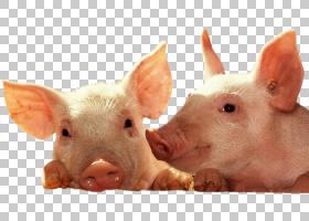 猪卡通,猪,猪耳,鼻部,牲畜,野生动物,西普罗国际公司,电脑,宽屏,