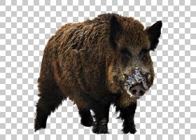 猪卡通,猪,鼻部,牲畜,毛发,野生动物,标本制作,猪和猪,狩猎季节,