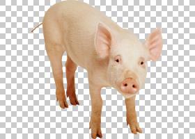 猪卡通,猪耳,鼻部,牲畜,猪,猪和猪,剪裁路径,猪和小猪,野猪,