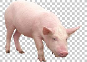 猪卡通,猪耳,鼻部,牲畜,猪,猪和猪,猪和猪,野猪,