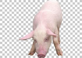 猪卡通,猪耳,鼻部,牲畜,猪,野猪,猪和猪,