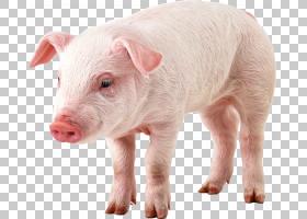 猪卡通,猪耳,鼻部,牲畜,野猪,猪,计算机图形学,猪和猪,