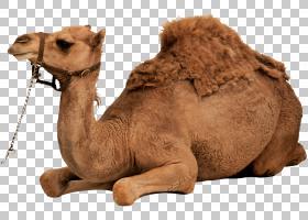 单倍体牲畜,阿拉伯骆驼,鼻部,骆驼般的哺乳动物,牲畜,骆驼,沙漠,