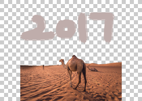 单峰型ERG,景观,生态区,风沙地貌,鬃毛,阿拉伯骆驼,鼻部,种马,骆