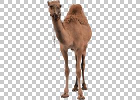 单峰毛皮,阿拉伯骆驼,鼻部,骆驼般的哺乳动物,牲畜,毛发,骆驼,事