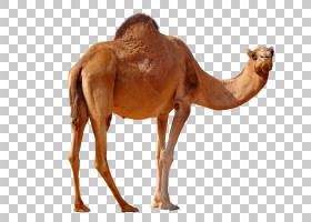 单峰骆驼,野生动物,牲畜,鼻部,骆驼般的哺乳动物,阿拉伯骆驼,骆驼