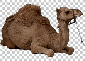 骆驼阿拉伯骆驼骆驼双峰骆驼动物形象,牲畜,棕色,动物形象,双峰驼