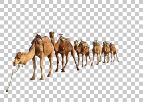 双峰驼阿拉伯骆驼,牲畜,骆驼般的哺乳动物,阿拉伯骆驼,骆驼,沙漠,