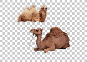 双峰驼阿拉伯骆驼,牲畜,骆驼般的哺乳动物,鼻部,阿拉伯骆驼,骆驼,