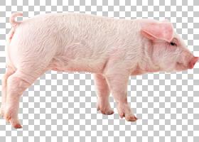 猪卡通,动物形象,猪耳,鼻部,牲畜,贴纸,猪,