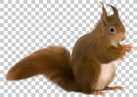 松鼠卡通,兔子,尾巴,毛发,野生动物,鼻部,博客,胡须,宠物,动物,红