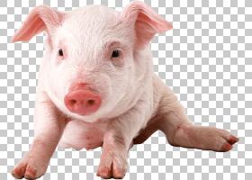 猪卡通,猪耳,鼻部,牲畜,猪,猪和猪,每英寸点数,野猪,