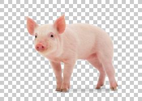 猪卡通,猪耳,鼻部,牲畜,猪,野猪,动物,养猪业,大白猪,小型猪,丹麦
