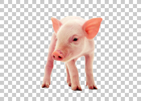 猪卡通,猪耳,鼻部,野猪,猪,食物,营养学,动物福利,动物饲料,牲畜,