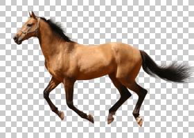 网页设计,小马,牲畜,小马驹,肝脏,索拉尔,种马,鬃毛,母马,动物形