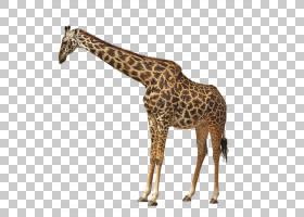 长颈鹿卡通,动物形象,长颈鹿科,脖子,兔子,野生动物,捷豹,老虎,动