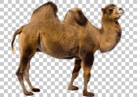 双峰驼,毛发,牲畜,鼻部,野生动物,骆驼般的哺乳动物,阿拉伯骆驼,