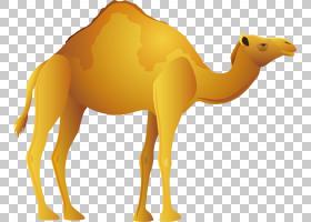 双峰驼牲畜,阿拉伯骆驼,鼻部,黄色,骆驼般的哺乳动物,牲畜,骆驼,