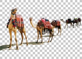 开斋节穆巴拉克背景,阿拉伯骆驼,骆驼般的哺乳动物,骆驼,开斋节穆