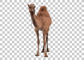 开斋节背景,牲畜,骆驼般的哺乳动物,鼻部,阿拉伯骆驼,骆驼,事件取