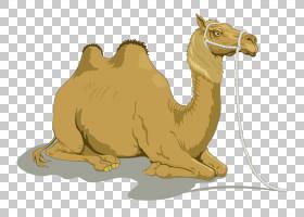 单倍体牲畜,阿拉伯骆驼,骆驼般的哺乳动物,牲畜,骆驼,幽默,绘图,