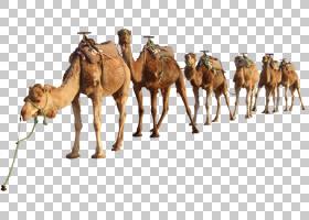 单峰骆驼,野生动物,阿拉伯骆驼,骆驼般的哺乳动物,骆驼,贴纸,动物