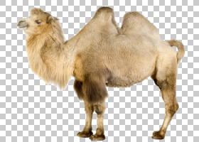 单峰骆驼,野生动物,鼻部,牲畜,阿拉伯骆驼,骆驼般的哺乳动物,骆驼