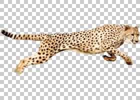 背景图案,动物形象,豹子,图案,捷豹,野生动物,鼻部,猕猴桃属,猎豹