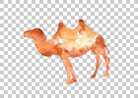 背景海报,桔黄色的,阿拉伯骆驼,鼻部,骆驼般的哺乳动物,骆驼,牲畜