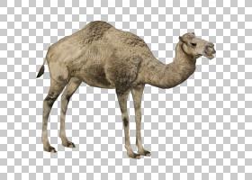 动物卡通,动物形象,牲畜,适应,野生动物,阿拉伯骆驼,骆驼,骆驼,家