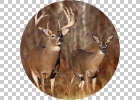 白尾鹿,鼻部,喇叭,鹿角,白尾鹿,野生动物,淘汰,野牛,羚羊,大游戏