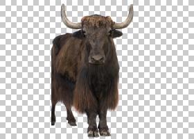 家庭卡通,牲畜,鼻部,公牛,野牛,公牛,野生动物,牦牛,公牛,牛只,喇