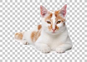 CAT背景,美国短吻鸟,芒奇金,欧洲短毛鸟,美国线毛,尾巴,鼻部,胡须