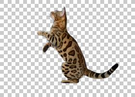 猫卡通,尾巴,孟加拉,萨凡纳,猫,动物,胡须,兽医,挪威森林猫,草原