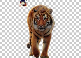 猫卡通,鼻部,胡须,野生动物,老虎,纺织品,铁染料,动物,极地羊毛,