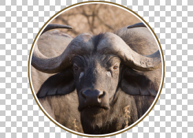 森林背景,鼻部,山羊,野生动物,喇叭,牛亚科,联会,牛的,野牛,游戏,