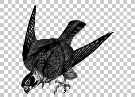 鸟翼,乌鸦,黑白相间,葫芦科,乌鸦,野生动物,雷山信天翁,喙,业余爱