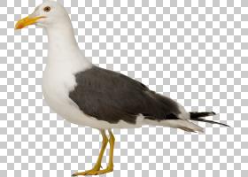 鸟翼,信天翁,羽毛,机翼,滨鸟,喙,大黑嘴鸥,海鸟,海鸥,大型白头鸥,