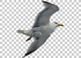 鸟翼,喙,尾巴,羽毛,信天翁,海鸥,机翼,脖子,野生动物,欧洲鲱鸥,滨