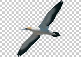 鸟翼,大黑嘴鸥,机翼,海鸥,硫磺酸盐,甘露,鹈鹕,诱饵,海鸟,大白鹈
