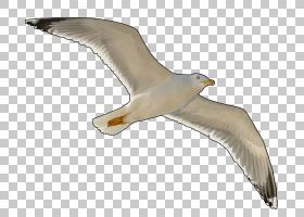 鸟翼,机翼,海鸟,尾巴,海鸥,信天翁,羽毛,面积,中等教育,小学教育,