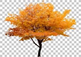 红枫叶,枫树,桔黄色的,分支机构,银发树,木本植物,种,枫树,叶,绿