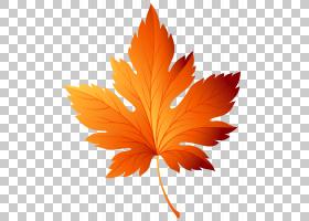 红枫树,枫叶,种,树,正在编辑,绿色,露水,红色,黄色,桔黄色的,叶,