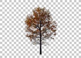 红枫树,枫树,分支机构,木本植物,叶,种,棕色,枫树,落叶的,红色,树