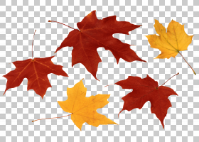 绿叶背景,枫树,树,绿色,叶斑病,枫树,秋天,枫叶,秋叶颜色,叶,