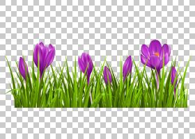 绿草背景,草,种子植物,花瓣,草甸,种,虹膜家族,西红花,白色,颜色,