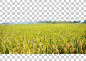 绿草背景,草,草原,种植园,天空,能量,农场,商品,草族,水稻(Oryza