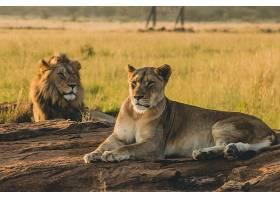 雄狮与母狮