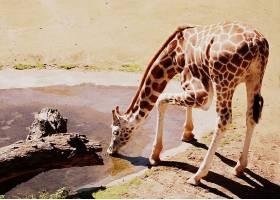 饮水的长颈鹿