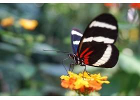 蝴蝶与花卉